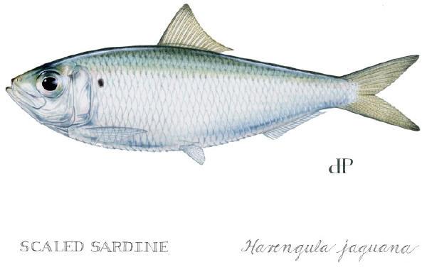 VISUEL_SARDINE-d9662